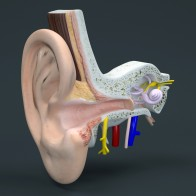 Cross-section of the human ear